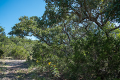 Forest - Government Canyon State Natural Area - Bexar County - Texas - 11 September 2016 (goatlockerguns) Tags: live oak government canyon state natural area bexar county texas nature park statepark trees tree forest hillcountry usa unitedstatesofamerica south southern southwest west