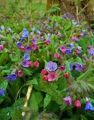 Pulmonaria (vidaficko) Tags: pulmonaria flower colourful blue violet purple pink meadow green spring