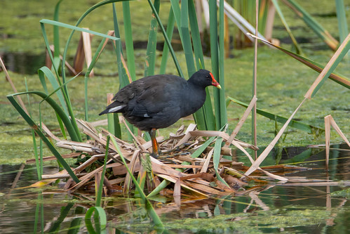 Dusky Moorhen (Gallinula tenebrosa) on nest