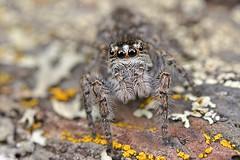 Philaeus chrysops (Villelongue) (G. Pottier) Tags: saltique salticidae araignéesauteuse jumping spider jumpingspider araignée saltiquesanguinolent philaeuschrysops philaeus chrysops