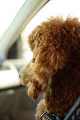 Riding in Cars With Dogs (anmajac) Tags: dog poodle standardpoodle roadtrip redpoodle