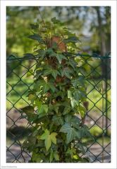 Taking Over 100/365 (John Penberthy ARPS) Tags: 10apr17 365the2017edition 3652017 d750 day100365 flowersandplants johnpenberthy nikon ivy