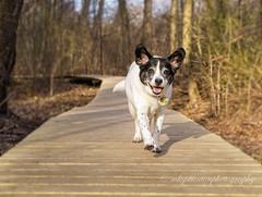 Walk this way (mgstanton) Tags: animal heard diego dog wayland waylandma
