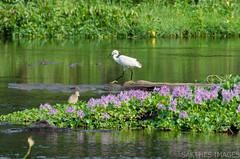 One step forward (sakthi vinodhini) Tags: birds morning earlymorning sunrise tamilnadu tamil nadu india pollachi aaliyar ambarampalayam river water serene flowers purple