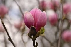 Magnolia (careth@2012) Tags: magnolia flower nature spring petals