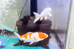 Two gold fish and my shoes (Jennifer Lea) Tags: japan travel tokyo sigma art 30mm nikon