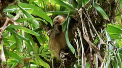 Two-toed Sloth (Fast asleep) (jaytee27) Tags: twotoedsloth choloepushoffmanni naturethroughthelens costarica