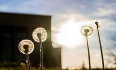 Dandelions (gregory.sevin) Tags: dandelions flower backlight sun annecy france