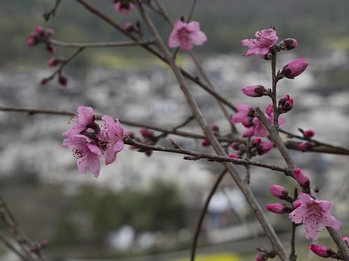 Cherry blossom, 21.03.2017.