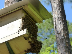 New home (alansurfin) Tags: bees beekeeping beehive beebox swarm abejas bienen abeilles colony honeybees api
