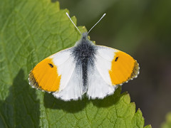 Orange-tip Butterfly (sivaD nhoJ) Tags: butterfly lepidoptera insect invertebrate arthropod animal wildlife nature 2017 orangetip orangetipbutterfly anthochariscardamines pieridae