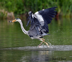 Héron cendré (Ardea cinerea ) (jean-lucfoucret) Tags: oiseau bird greyheron étang sigma150600 nikond500 poisson vol héroncendré aves fish