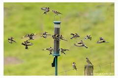 B57I1961-Goldfinch,-Carduelis-carduelis-1 (duncancooke.happydayz) Tags: finches finch goldfinch birdperfect birds bird distinguishedbirds gold carduelis uk british amazingwildlifephotography wildlife feeder
