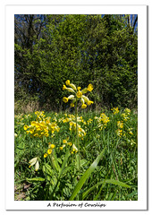 A Profusion of Cowslips (Travels with a dog and a Camera :)) Tags: lightroom cc england flowers wapley bushes nature reserve cowslips photoshop 2015 south gloucestershire 2017 pentax tree digital k5 sigma 1020mm 1456 dc justpentax art west blue sky uk april bluesky lightroomcc pentaxart pentaxk5 photoshopcc2015 sigma1020mm1456dc southgloucestershire southwest wapleybushesnaturereserve yate unitedkingdom gb