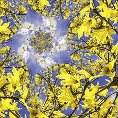 Forsythia a la Droste 2017 (hz536n/George Thomas) Tags: 2017 canon5d ef15mmf28fisheyeusm michigan spring blue copyright cs6 fisheye forsythia sky sun yellow pixelbender droste abstract surreal