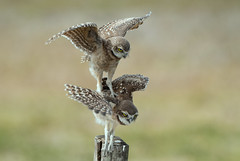 Burrowing Owlets - Bad landing; just learning how to fly. (dubrick321) Tags: birds burrowingowl burrowingowls owls raptor raptors athenecunicularia owlets babyowl babybirds baby