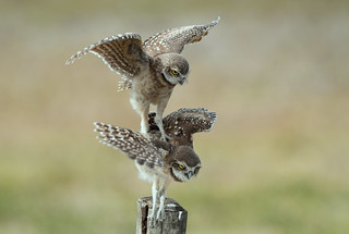 Burrowing Owlets - Bad landing; just learning how to fly.