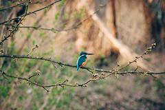 kingfisher (Crist0bal) Tags: kingfisher eisvogel nature bird spring