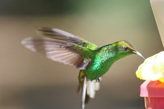 Coppery-headed Emerald Hummingbird (dougskik) Tags: elvira cupreiceps copperyheaded emerald costa rica