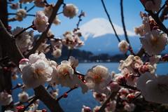 Fujisan 富士山|山梨縣 (里卡豆) Tags: olympus penf 25mm f12 pro 2512pro 富士山 山梨縣 fujisan 東京 關東 kanto 河口湖 kawaguchiko