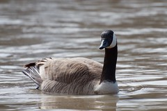 Canada Goose in the Assiniboine River (SilverLen) Tags: canadagoose river bird goose animal water winipeg manitoba canada spring april migrate swimming looking closeup zoom nikon d7000 70300 dslr dx