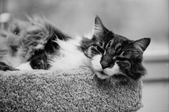 IMG_20170413_0029 (david_z_norton) Tags: 35mm delta100 f100 ilford nikon cat catpicture film mackerel petphoto pets stripes tabby