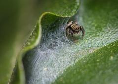 A Jumping spider at home (LeoMahcro) Tags: nikkor105mmf28gvrmicro teleconverter2x teleconverter nikonafsteleconvertertc20eiii nikon d810 macrophotography arachnid jumping colombia guasca entomology closeup