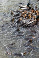 DSC_1279 (nicoooooh) Tags: carp karper carps duck dierenrijk nuenen zoo dierentuim