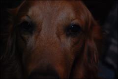 Deep Concentration (John Neziol) Tags: kjphotography goldenretriever fieldretriever pointynoseddogs dognose closeup nikoncamera nikondslr nikon pet dog animal interestingdogposes portrait