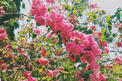 Beautiful World (DannyGuardia) Tags: vintage indie photography camera film canon pictures garden flowers nature beautiful love pink freedom summer dannyguardia adventure paradise travel colors tumblr kiss amazing landscape happiness fearless cool alternative sunset boy hipster roses