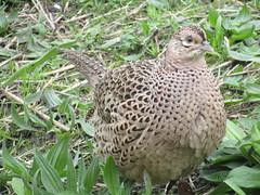 Female Pheasant, Hawley Feeding Station, Wigan Flashes (stevencarruthers93) Tags: wigan wiganflashes nature wildlife wildlifephotgraphy naturephotography photography outdoors greenheart