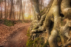 Tree roots (rudi.verschoren) Tags: landscape spring roots hollow path beech trees colors eos europe europa exposure artistic outdoor tall trail light lines leaves mood kleur landschap flanders vlaanderen old canon 70d forest brabant ngc greatphotographers