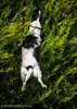Nibbler the Jumping Jack Russell (Mr Whites Paw Prints) Tags: nibbler dog jackrussell