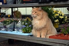 cat (elka.) Tags: cat chat gata kot katze katte neko feline freiburg katt gatta germany cats cute γάτα кошка котка кошки