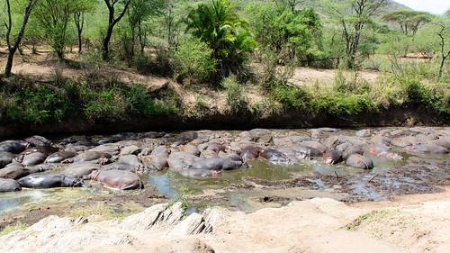 Hippopotamus, Seronera Valley, Serengeti, Tanzania