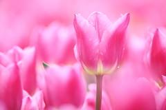 Natural pink (Teruhide Tomori) Tags: flower pink spring japan kyoto kyotobotanicalgarden tulip チューリップ 京都 日本 春 花 京都府立植物園 bokeh plant garden