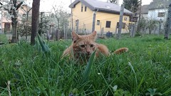 Dado almost grown up (Peromali) Tags: cat yallow orange tabby feline animal nature green grass spring