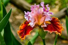 Bearded Iris 1AprDABG-0115 (918monty) Tags: flowers flickritis flower43800 iris floral beardediris