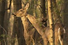 Psssst... (gimmeocean) Tags: deer doe buck rahway miltonlakepark newjersey nj