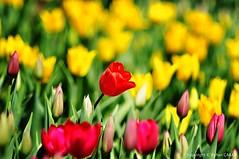 Land of the Tulips (NATIONAL SUGRAPHIC) Tags: türkiye yenitürkiye newturkei turkei naturephotography doğafotoğrafçılığı mothernature annedoğa fairytales sarıyer istanbul emirgan emirgankorusu tulips laleler türkiyeninlaleleri tulipsofturkei tulipland flowers çiçekler ayhançakar nationalsugraphic sugraphic