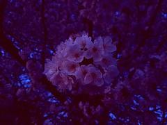 Blossom (kristiankolar) Tags: blossom flower bloom batch nature photography