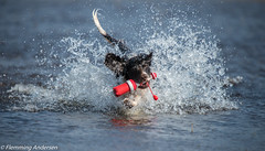 14/52 ZigZag 2017 (Flemming Andersen) Tags: zigzag spaniel red fight pet nature water dog splash outdoor cocker 52weeksfordogs hund animal hurupthy northdenmarkregion denmark dk