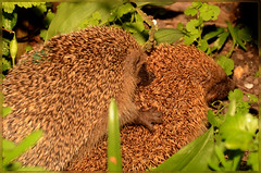 hedgehog Love (2) (bobspicturebox) Tags: hedgehogs cherry blossom moon fauna bluebells snowdrops digger wasp apple dandelion buzzards crow sparrow hawk wall flower cat bobo mouser starling tulips helicopter police tadpole clematis regal