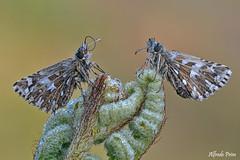 Pyrgus malvoides (alfvet) Tags: farfalle butterflies natura nature macro nikon d5200 sigma150 veterinarifotografi parcodelticino