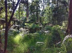 Dandenong Ranges National Park (sander_sloots) Tags: dandenong ranges national park belgrave melbourne australia cold temperate regenwoud trees bomen woud forest bos boomvaren ferntree ferns varens