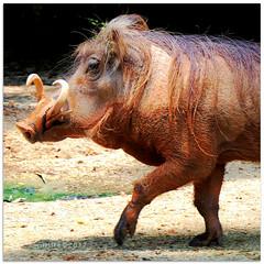 Hakuna matata - 1030600 (willfire) Tags: willfire singapore animal kingdom nature wildlife mammal life living zoo wild boar pig disney