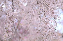 weeping cherry blossoms (snowshoe hare*) Tags: dsc0666 cherryblossoms weepingcherryblossoms sakura flower flowers hiranoshrine kyoto 桜 枝垂れ桜 平野神社 京都