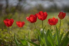 sunlit tulips (kderricotte) Tags: helios 402 85mm 15 tulips flower sunlit plant outdoor vintagelens sony sonya7ii a7