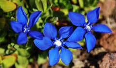 Blue (Hugo von Schreck) Tags: hugovonschreck flower enzian blüte blume macro makro canoneos5dsr onlythebestofnature tamron28300mmf3563divcpzda010