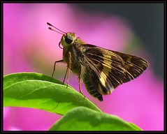 IMG_3319 An Afternoon Delight 4-5-17 (arkansas traveler) Tags: skipperbutterfly mesogrammaskipperbutterfly bichos bugs flowers bougainvillea pink bokeh bokehlicious nature naturewatcher natureartphotography zoom telephoto dominicanrepublic republicadominicana puertoplata